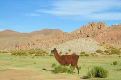 Lama walking Stock Photography
