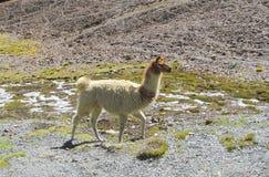 Lama walking on stones Royalty Free Stock Photography
