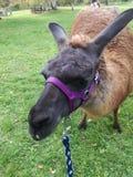 Lama. Wanderung baden Royalty Free Stock Photography