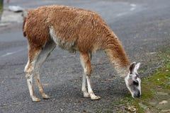 Lama, welche nach Nahrung sucht Lizenzfreies Stockbild