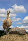 Lama in the wild Royalty Free Stock Photos