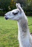 Lama z Białą twarzą obraz royalty free