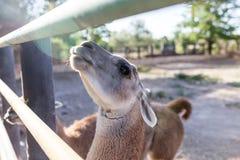 Lama in zoo Fotografia Stock Libera da Diritti