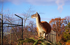 Lama In Zoo Royalty Free Stock Image