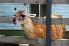 Lama in zoo Fotografie Stock Libere da Diritti