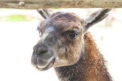 Lama in zoo Immagine Stock Libera da Diritti