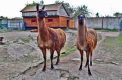 Lama in zoo Fotografie Stock