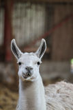 Lama. Zoo animals in copenhagen Denmark. lama chewing food giving a funny face Royalty Free Stock Photos