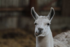 Lama. Zoo animals in copenhagen Denmark. lama chewing food giving a funny face Stock Photography