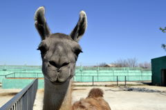 Lama. In a zoo on a background of the enclosure Stock Photography