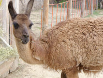 Lama in zoo. Close up view Royalty Free Stock Photos