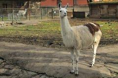 Lama in a zoo Stock Photo