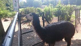 Lama. In the Zoo of Hamburg Stock Photography