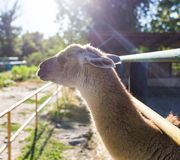 Lama in zoo. In the park in nature Stock Image