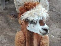 Lama, zoo, Russia, śliczny zdjęcia royalty free