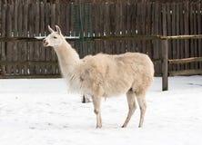 Lama in zoo Royalty Free Stock Image