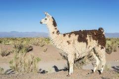 Lama in Zoutmeren Grandes in Jujuy, Argentinië. royalty-vrije stock afbeeldingen