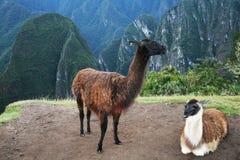 Lama zwei Stockfoto