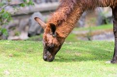 Lamaglamaen betar i beta på en solig dag för vår Lamaguanicoe av kamelfamiljen royaltyfri foto