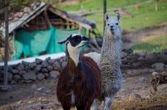 Lamaleben auf einem Bauernhof stockfoto