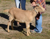 Lamancha dairy goat Stock Image