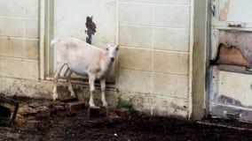 LaMancha-Ziege, die auf Ziegelsteinen durch alte Garage steht Lizenzfreie Stockbilder