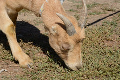 Lamancha dairy goat Royalty Free Stock Photos
