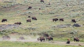 Lamar谷北美野牛牧群 免版税库存图片