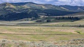 Lamar Valley Bison Herd Fotografie Stock