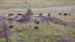 Lamar Valley Bison Herd Immagine Stock Libera da Diritti