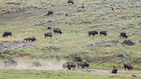 Lamar Valley Bison Herd Image libre de droits
