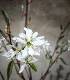Lamarckii d'Amelanchier Images stock