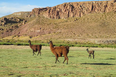 Lamas à l'altiplano Photos libres de droits