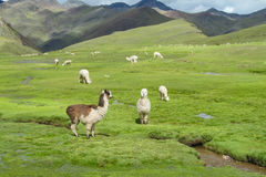 Lamas à l'altiplano Photos stock