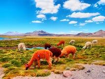 Lamas Photographie stock