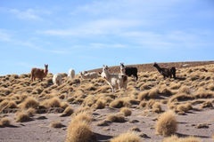 Lamas Lizenzfreie Stockfotos