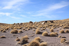 Lamas Stockfoto