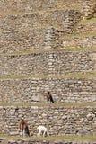 lamas стоковая фотография rf