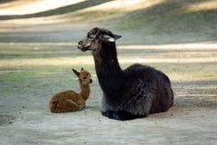 Lamas Imagenes de archivo