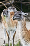 Lamas Image libre de droits