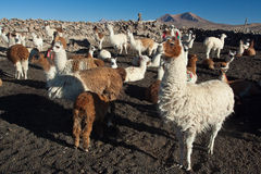 Lamas Stock Photo