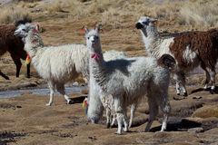 Lamas Royalty Free Stock Image