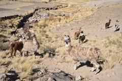 Lamas stockfotografie