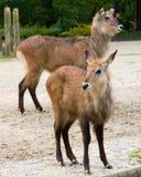 Lamas Photo stock