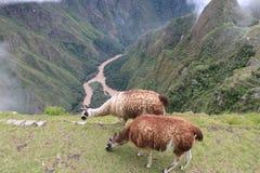 Lamas Fotografia de Stock Royalty Free