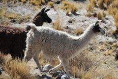 lamas Arkivbilder