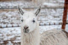 lamas Photo libre de droits