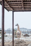 lamas Image stock
