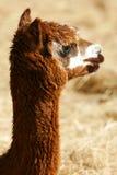 Lamas Imagen de archivo