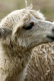 Lamas Royalty Free Stock Photos